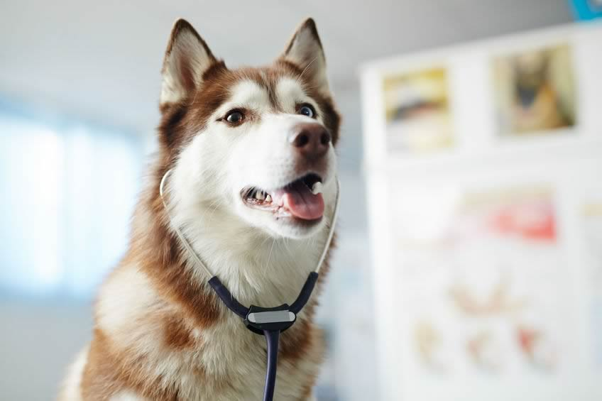 Photo of a dog wearing a stethoscope.